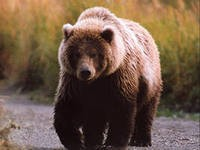 В Удмуртии завершен сезон охоты на медведей